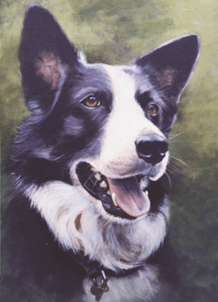 Bob-Border Collie